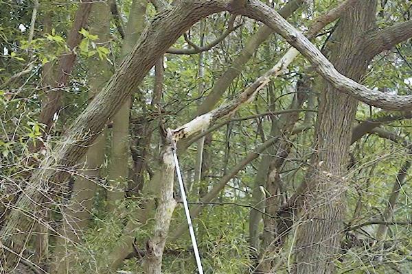 ポールソーを使って高い位置の木を伐る